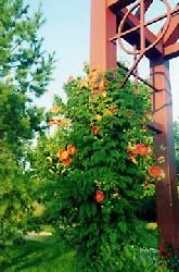 VanSteeland Arboretum Vine Image